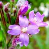 Kisvirágú füzike cseppek